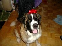 Mia is an akc saint bernard that has had only one