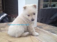 AKC SCHIPPERKE PUPPIES FOR SALE BORN AUGUST 21, 2015 -