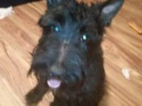 I have a beautiful scottie male for sale. He is 2 1/2