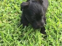 AKC registered Scottish Terriers born on April 11 and