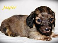 ~Jasper~ is a shaded cream long coat male dachshund