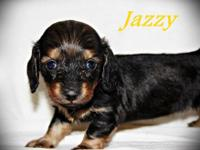 ~Jazzy~ is a shaded red long coat female dachshund