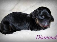 ~Diamond~ is a shaded red female long miniature