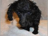 Shadow is a tiny teacup poodle he is 1 years old. He