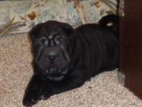 Lovely AKC black female Shar-Pei available as a breeder