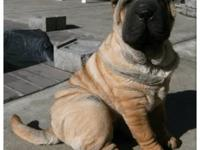 3 Beautiful female AKC Shar Pei puppies are for sale!