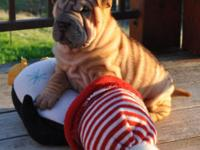 AKC Chinese Shar Pei puppies available! All our young