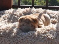 AKC Chinese Shar Pei Puppies Available! 8 weeks old