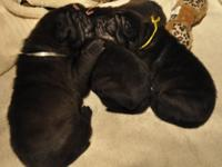 We have 6 gorgeous AKC Chinese Shar Pei puppies readily
