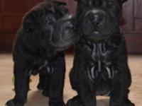 Shar-Pei puppy for sale only one left (girl). She is a