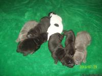 We have SIX Shar Pei pups born on July 20th FIVE males
