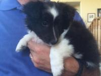 Very cute Black and White Bi colored Female Shetland