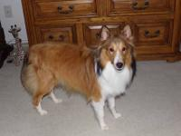 AKC sable & white male Sheltie, 9 months old, UTD on