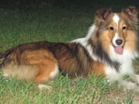 AKC male Sheltie puppy sable and white color DOB