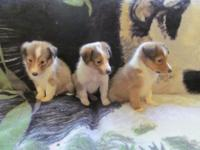 Only one male left. 1 Sheltie pup ready for new home.