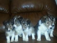Theses puppies are AKC registered. I have three females