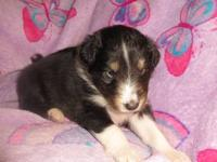 I have two AKC sheltie puppies for sale. I have one