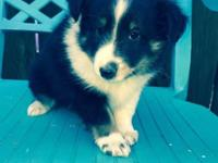 Two AKC male tricolor sheltie puppies, two different