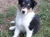 Five handsome Sheltie puppies, two sable & white, three