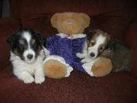 We have two AKC registered Male Shelties that will be