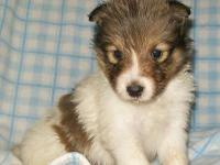 Cute AKC Sheltie New puppy. Sable/White Male. Born on