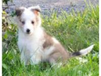 Beautiful lAKC Sheltie puppy available. She is a sable