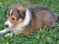 PENDING **** Caleb - AKC Sable Sheltie (Male) Caleb is