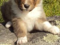 AKC reg. Shelties Sable and White, family raised and