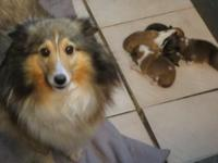 AKC registered shelties. 1 golden sable female and 2