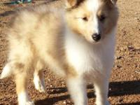 Akc sheltie child, sable merle. 2 blue brown parti