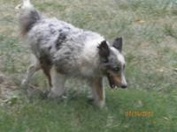 """Rocket is a Blue Merle. Just under 15"""" tall. He is a"""