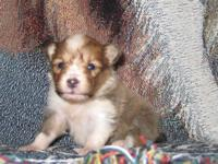 Beautiful Sable & White and Tri-Color puppies! AKC reg,