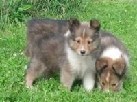 I have 2 male sheltie puppies available born on