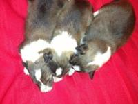 Beautiful AKC sable and white Sheltie puppies. Born