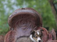 AKC Shetland Sheepdog Male. Born Feb. 25th and ready
