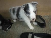 BORN 4/24/15 Taking deposits, Available 1 blue merle