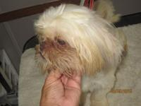 "AKC registered 7 month old shih tzu baby boy ""Raja"""