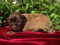 AKC Shih Tzu puppies. 5 beautiful little red/cream