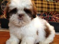 AKC Shih-Tzu, Male, 8 weeks old, he is a