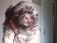 Gorgeous Male AKC Shih Tzu puppy. Very Rare Chocolate