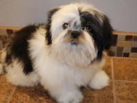 Beautiful Pure Bred Shih Tzu 2 boys one is black and