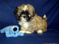 AKC Shih Tzu,Nellie's B1 Boy, Champion Bloodlines,
