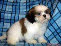 AKC Shih Tzu Boy, Champion Bloodlines both sides, born