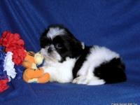 AKC Shih tzu Boy's, Champion Grand Sired. Black/White,