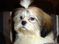 AKC Shih Tzu BOY Champion Bloodlines both sides,