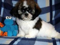 AKC Shih Tzu Boys 1-3 M Champion Bloodlines Both
