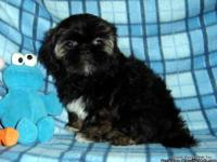 AKC Shih Tzu Boy,Champion Bloodlines, Brindle(dark),