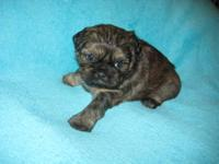 Stunning brindle female. Just a doll with a gorgeous