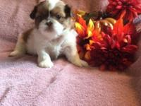 I have 2 AKC female Shih Tzu puppies born Aug. 22 and