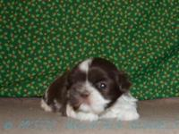 At Mystic Mountain Kennels we reproduce ShihTzu puppies